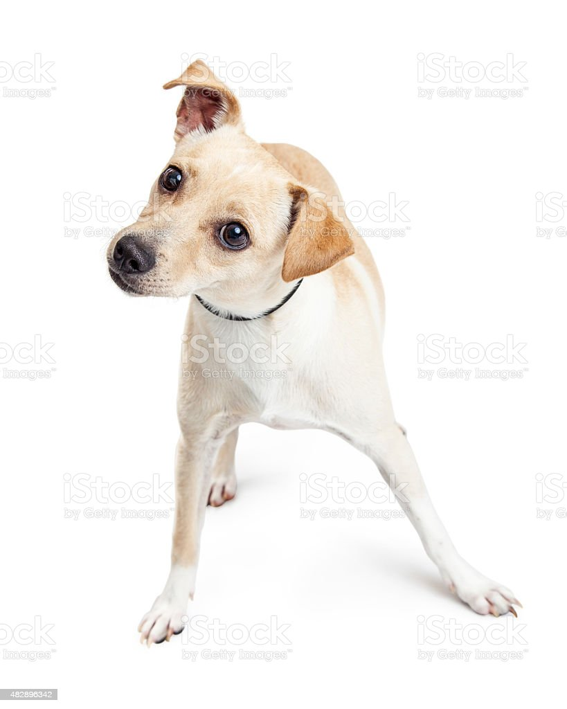 Curious Small Breed Dog Tilting Head stock photo