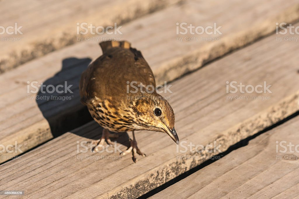 curious songbird on wooden boards stock photo