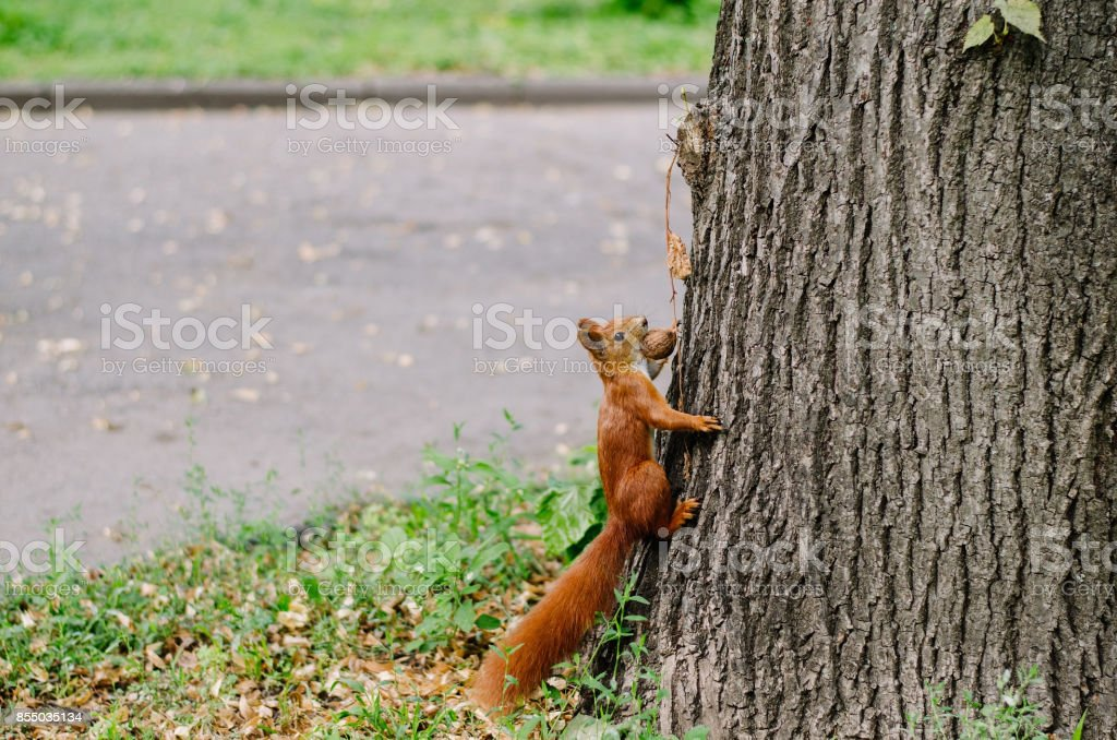 Curious squirrel eats walnut on a tree on beautiful rainy day in the...