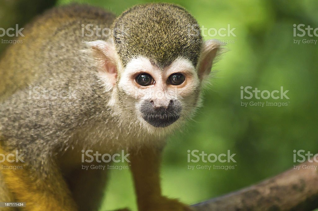 Curious squirrel monkey stock photo