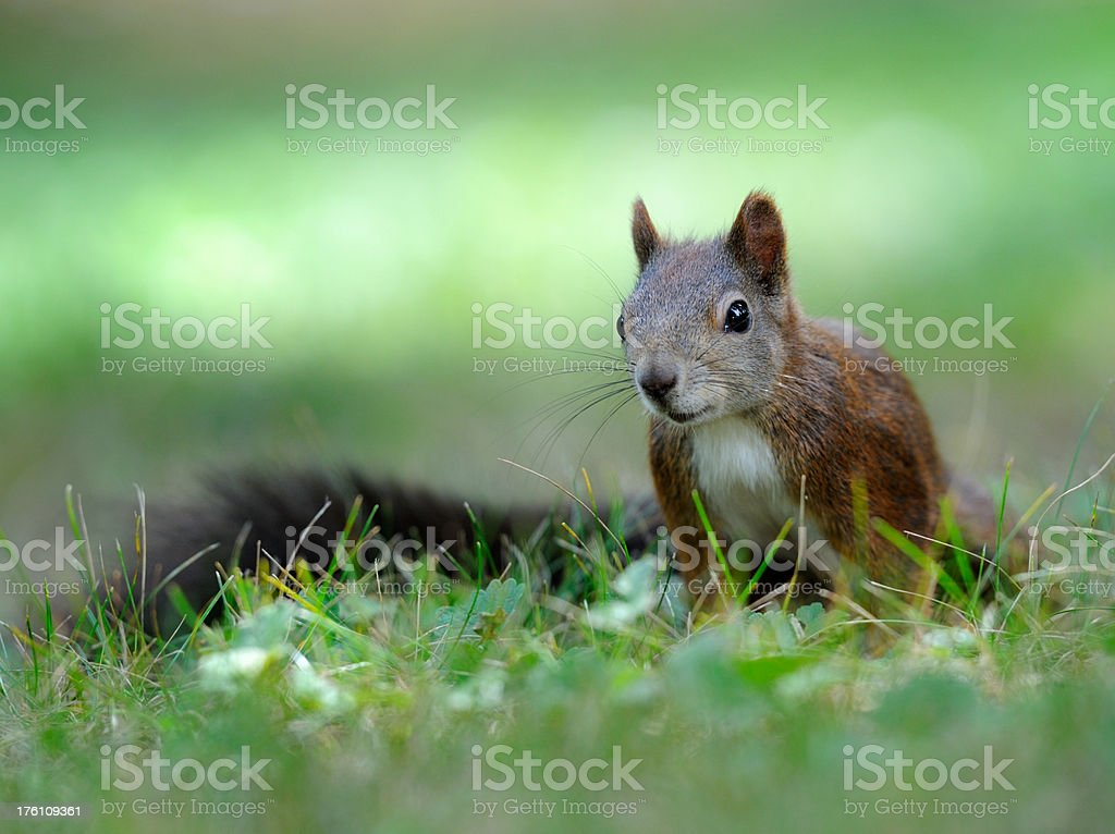 Curious Squirrel sitting in the Meadow royalty-free stock photo