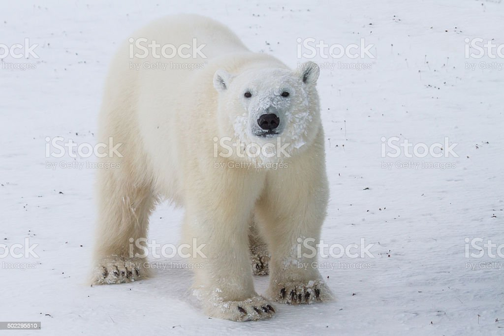 curious teenage polar bear stock photo