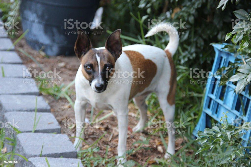Curious Tenterfield Terrier in garden foto de stock libre de derechos