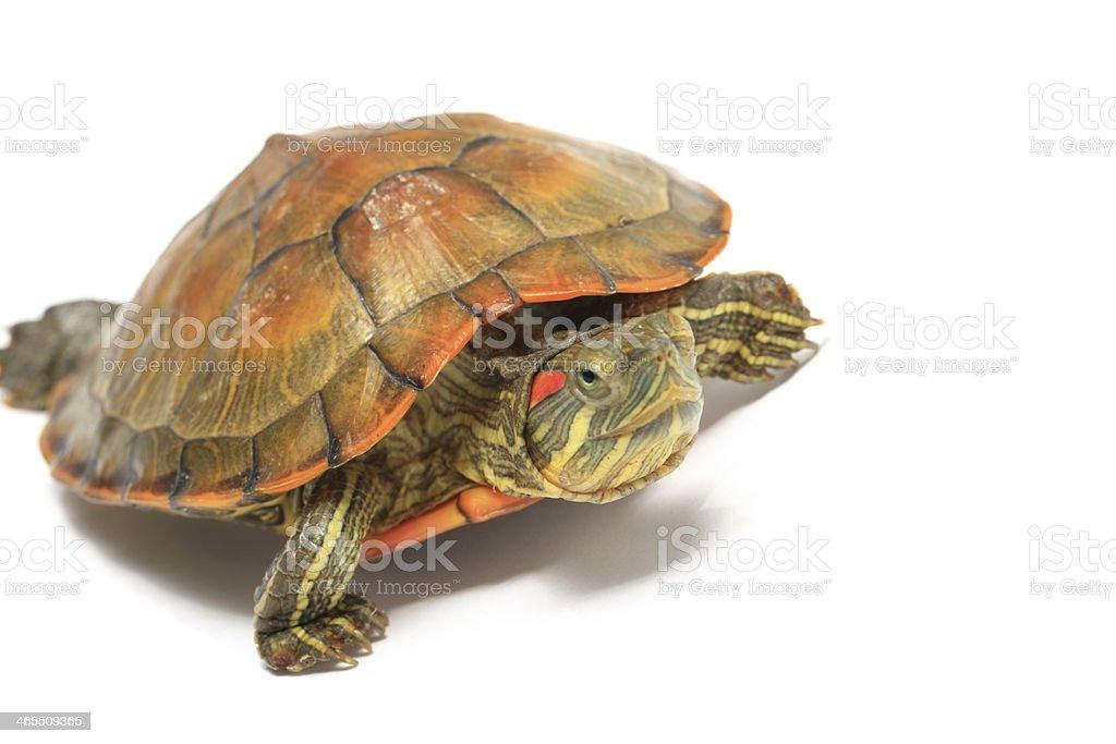 Curious Tortoise stock photo