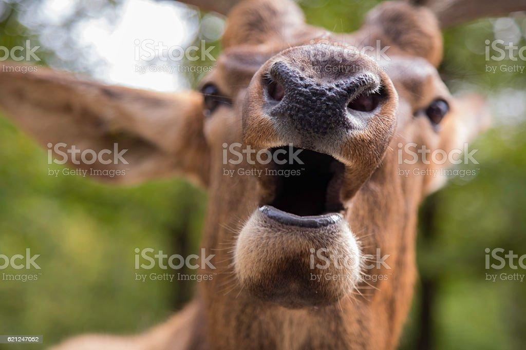 Curious, unafraid, inquisitive elk stock photo