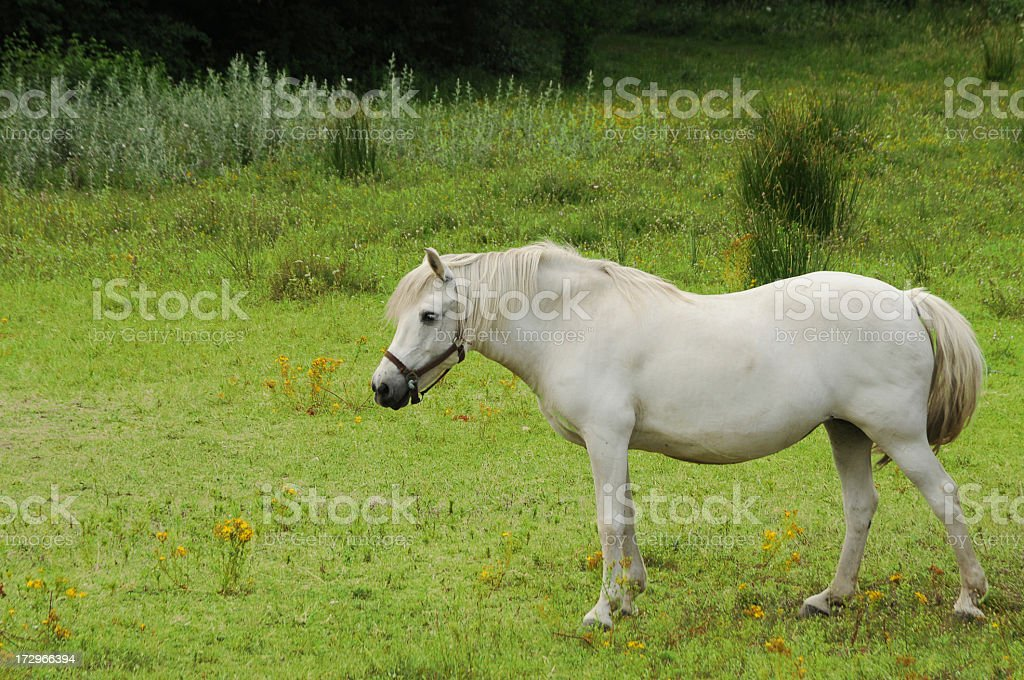 curious white horse in field stock photo