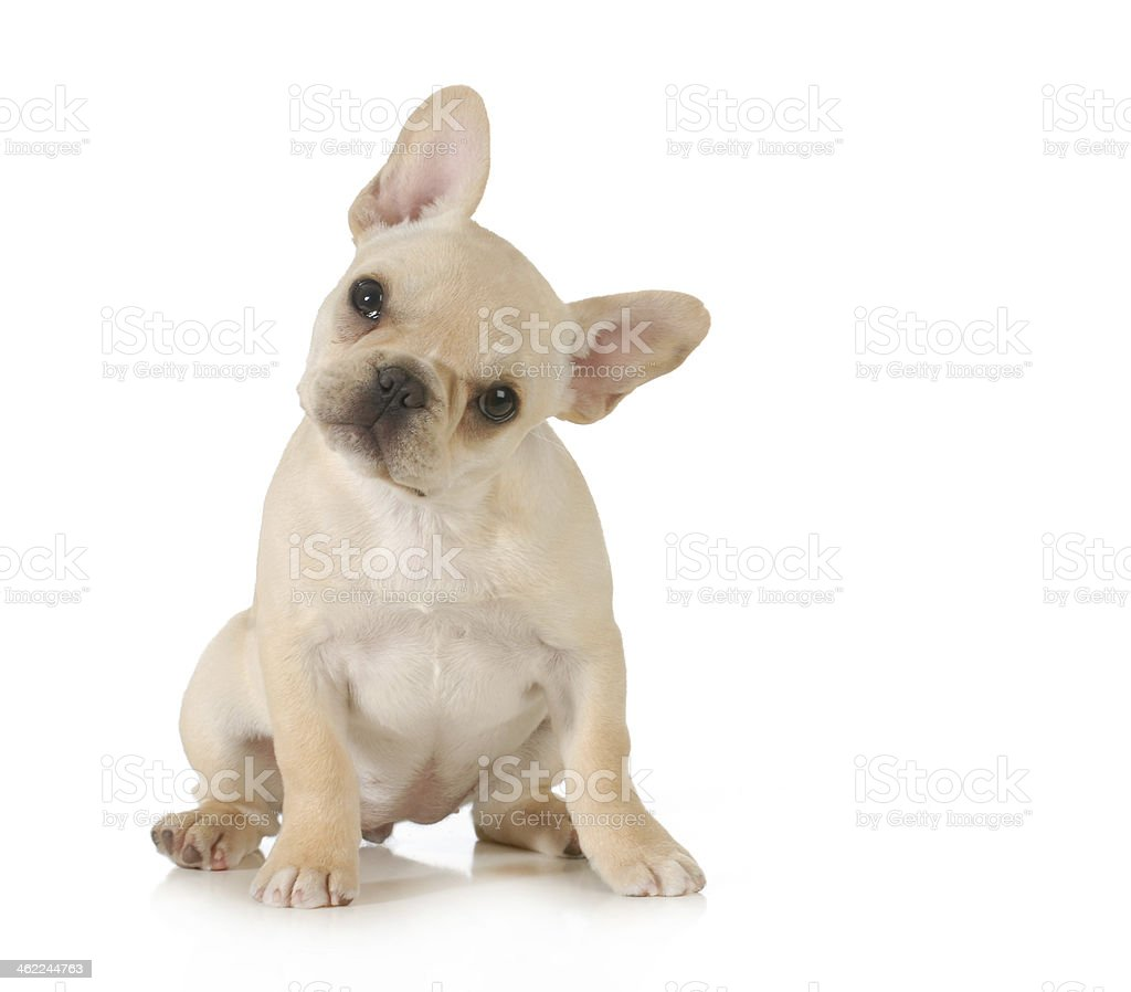 Curious white puppy on white background stock photo