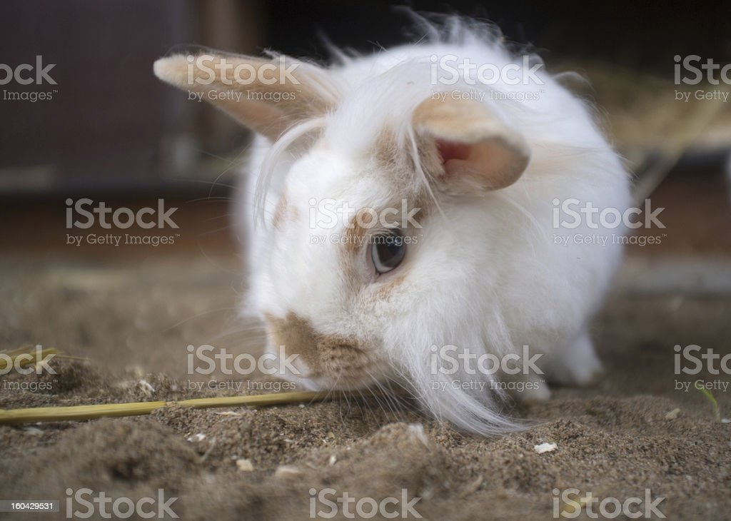 Curious white rabbit looks attentively royalty-free stock photo