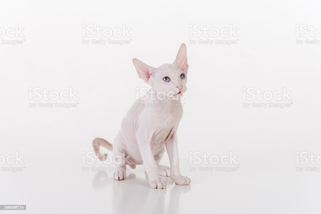 Curious White Very Young White Peterbald Sphynx Cat stock photo