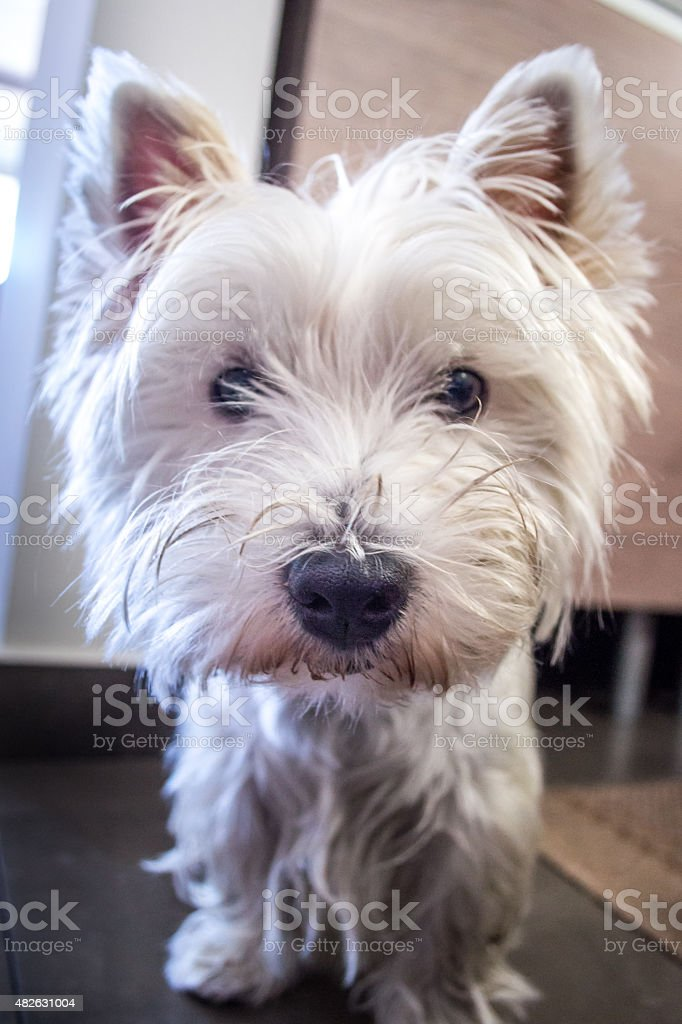 Curious White West Highland Terrier Dog royalty-free stock photo