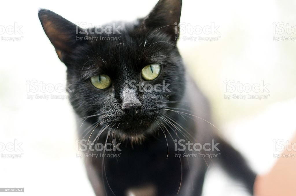 Curious wild black cat stock photo