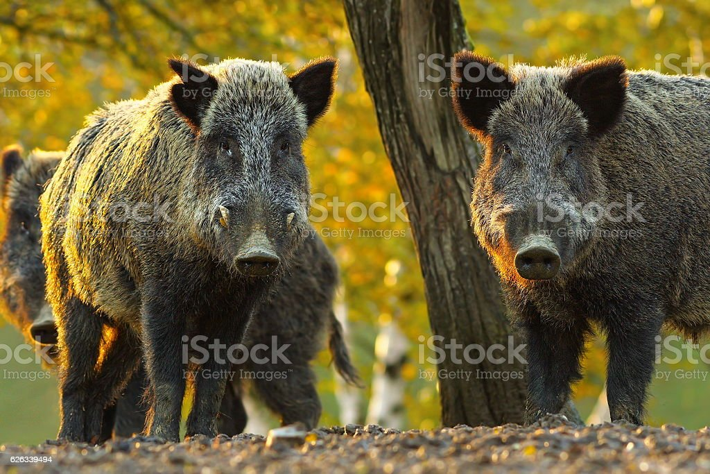 curious wild boars stock photo