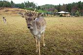 Curious young deer