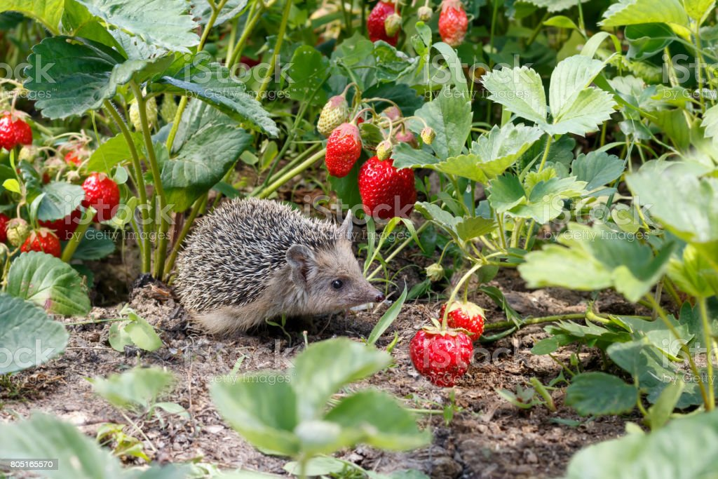 Curious young hedgehog , Atelerix albiventris,  in the bushes of strawberries in garden  among red  berries stock photo