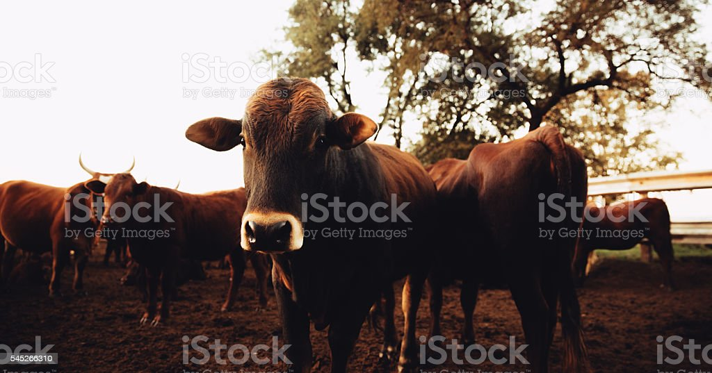 Curiuos jersey cow looking at camera on dusty ranch stock photo