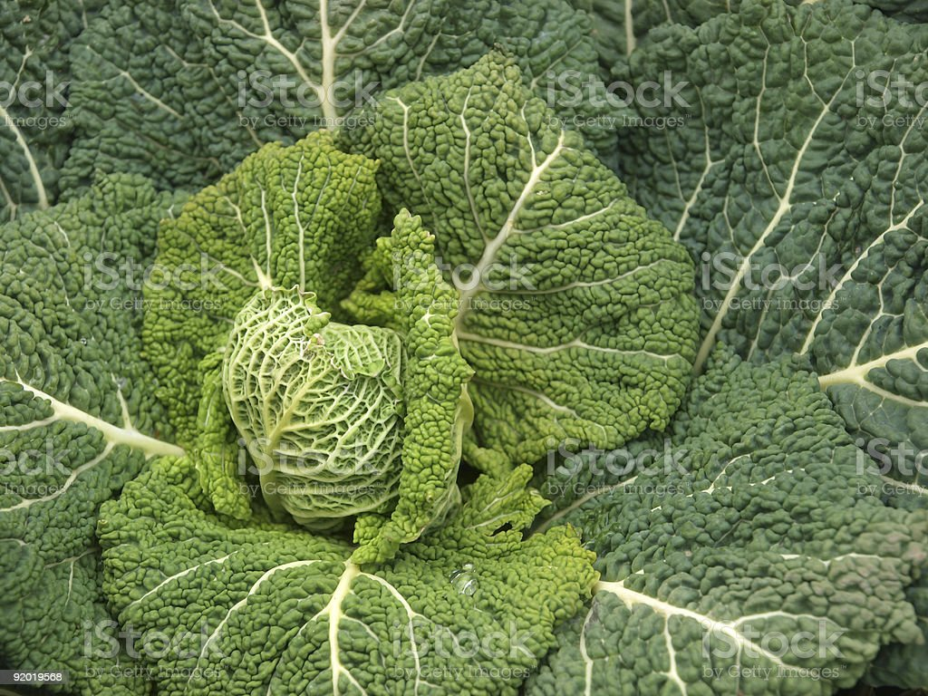 curled kale royalty-free stock photo