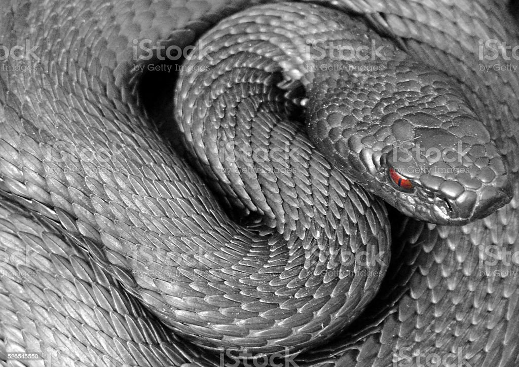 Curled snake viper. stock photo