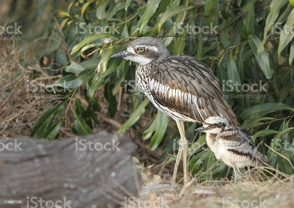Curlew and Baby stock photo