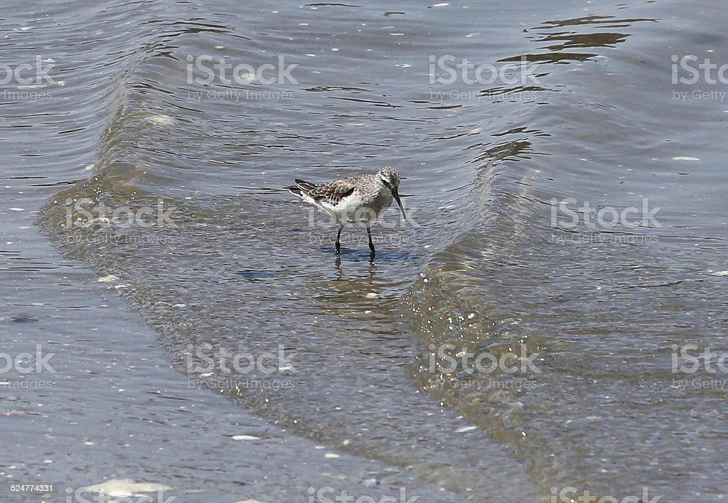Curlew Sandpiper stock photo
