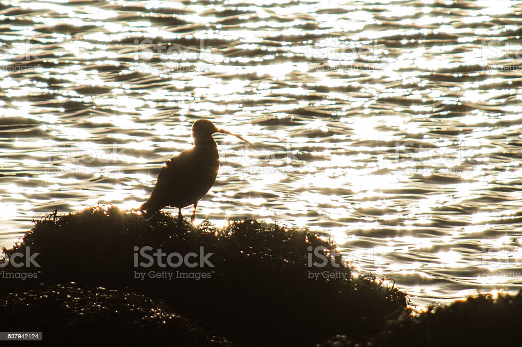 Curlew silhouetted by reflected sunset stock photo