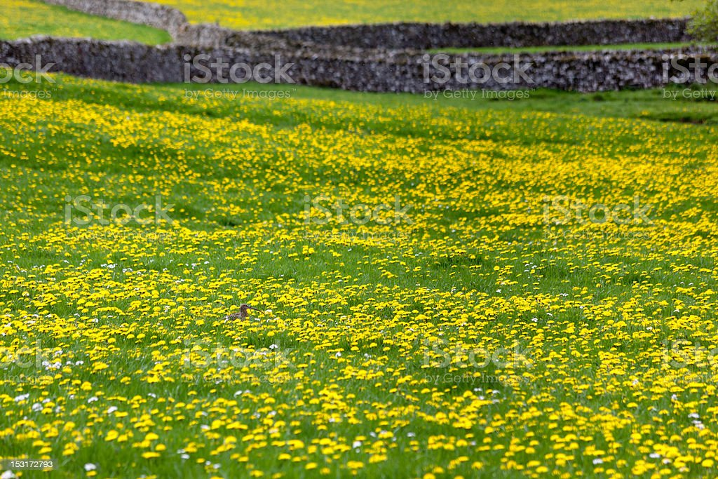 Curlew sitting in a field of Dandelions stock photo