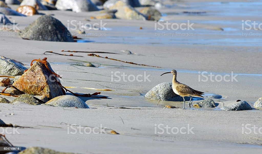 Curlew Waterbird on a sandy beach with a curved beak. stock photo
