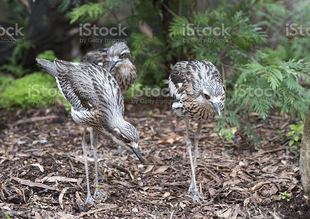 curlews royalty-free stock photo