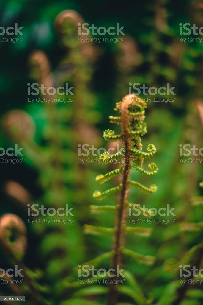 Curling fern stock photo