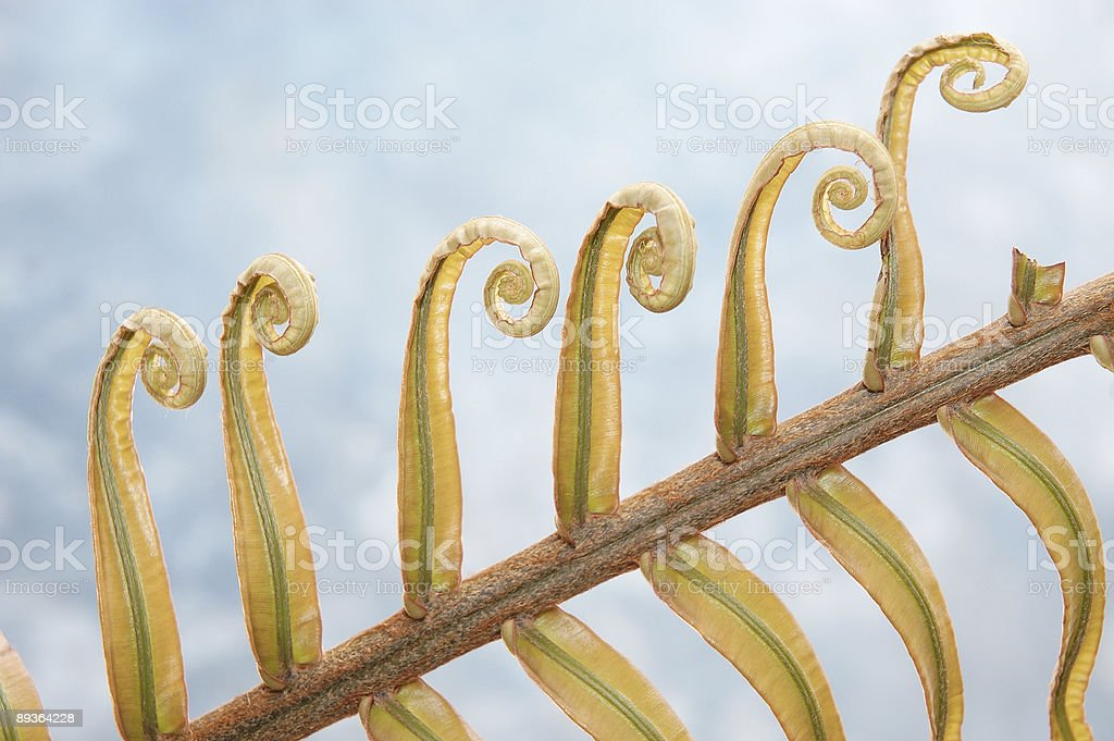 Curling Ferns stock photo