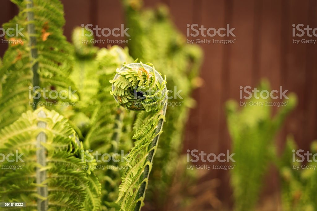 Curls of young shoots of fern in the forest against stock photo