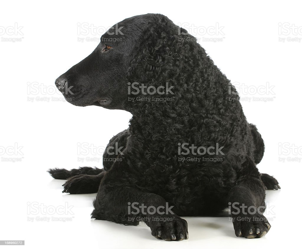 curly coated retriever royalty-free stock photo