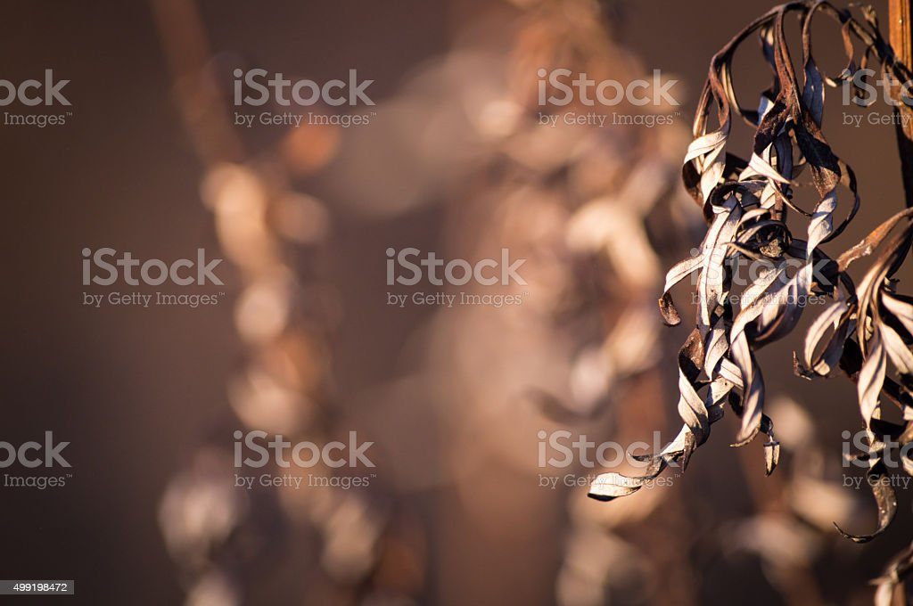 curly dried dry grass stock photo