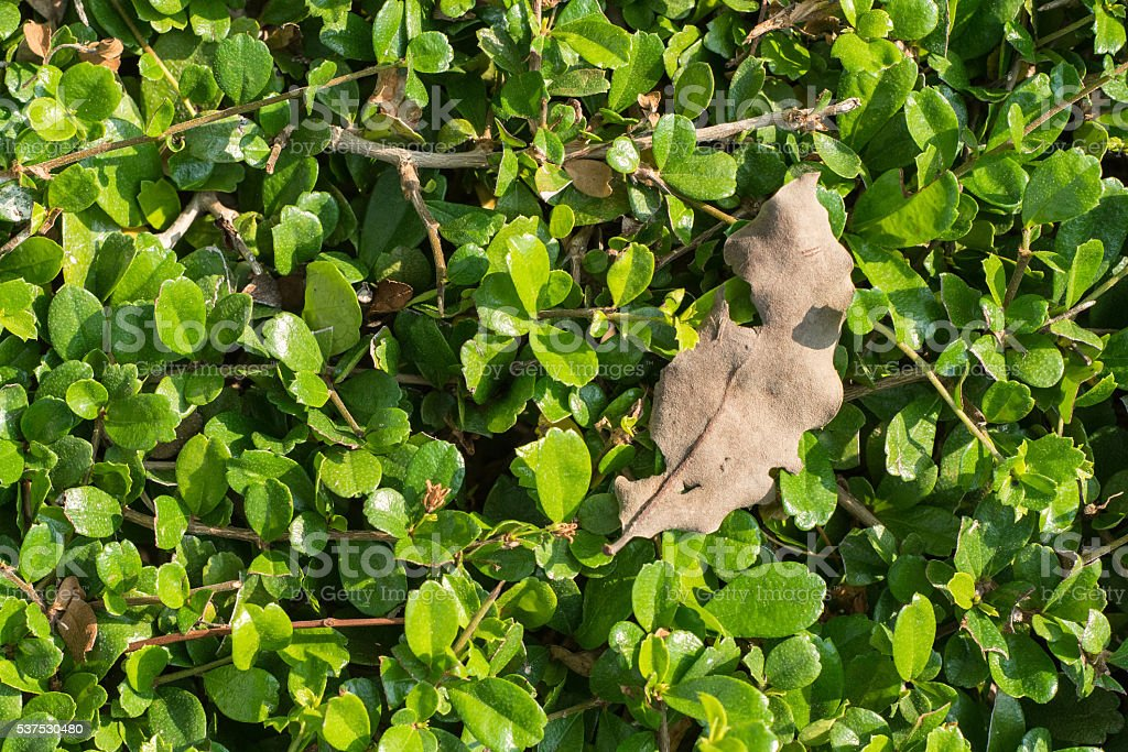 Curly dry leaf on the green bush stock photo