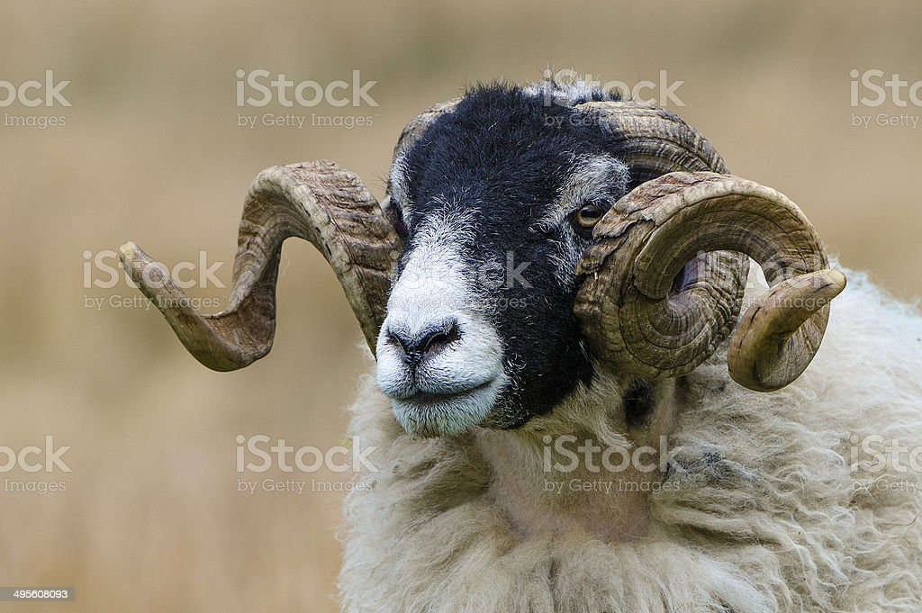 Curly Horn Swaledale Ram stock photo