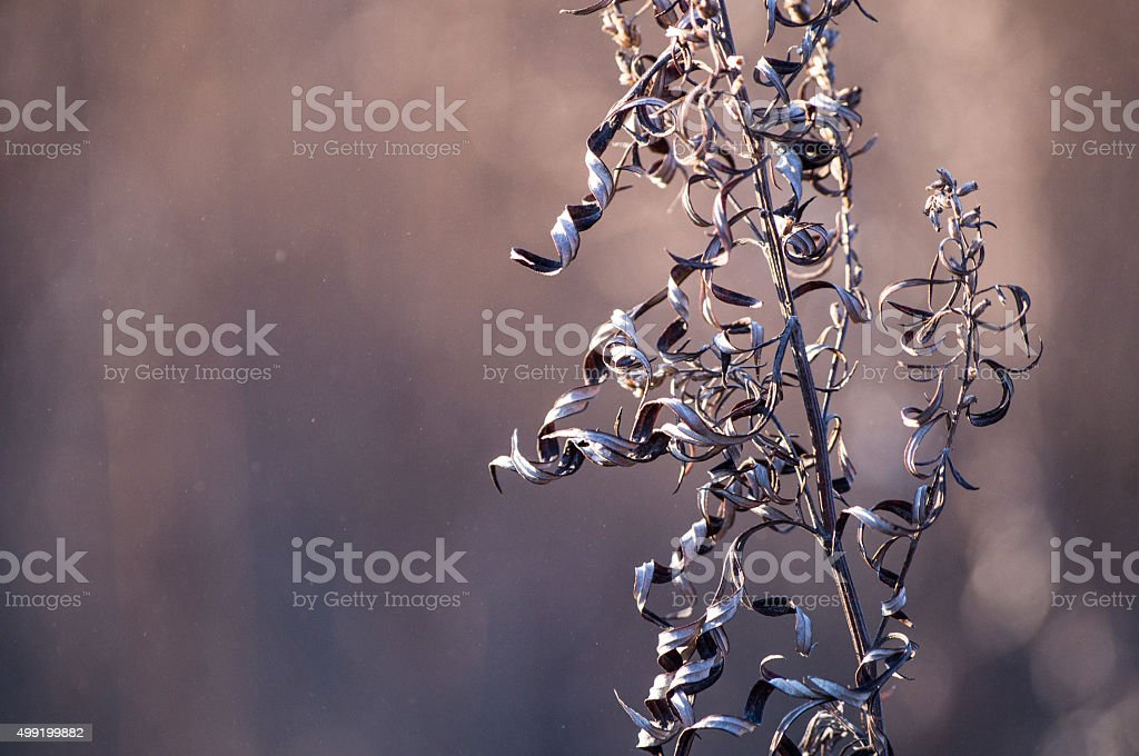 curly leaves dry grass stock photo