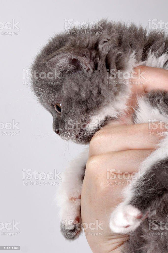 Curly little gray kitten breed Selkirk Rex human hand, stock photo