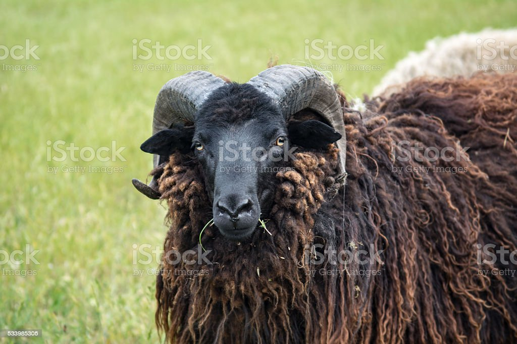 Curly Ram with large horns stock photo