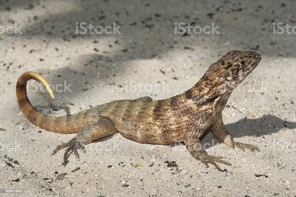 Curly Tail Lizard stock photo