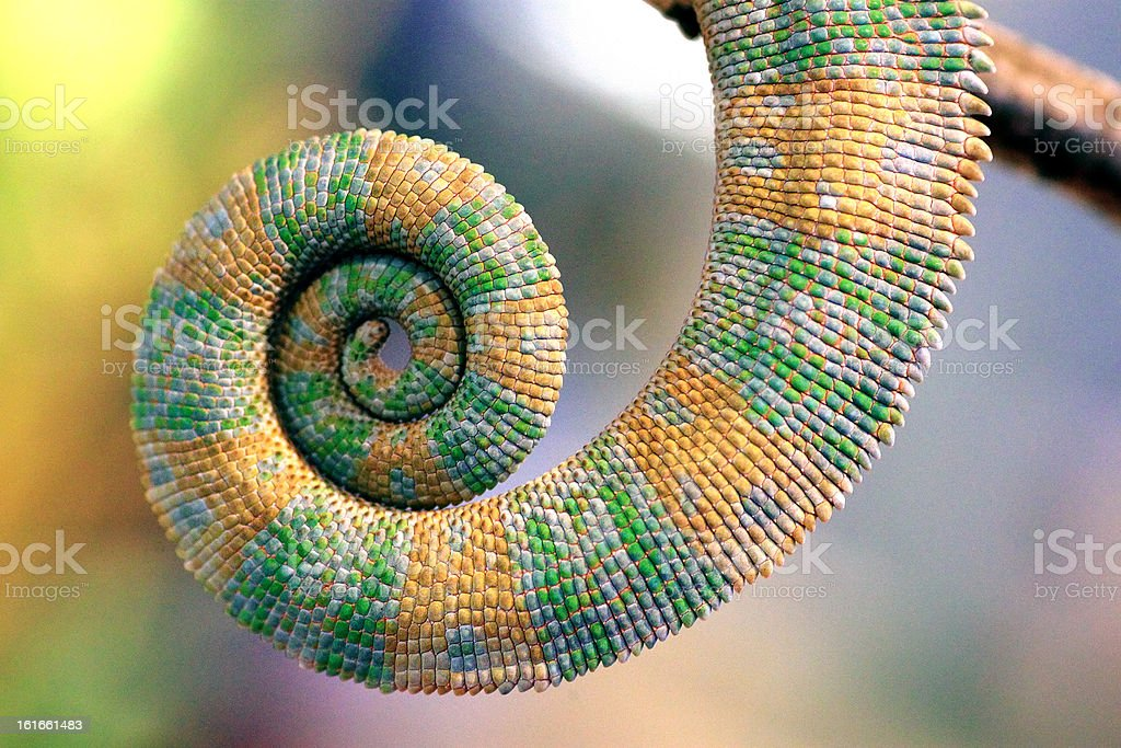 Curly tail of chameleon stock photo