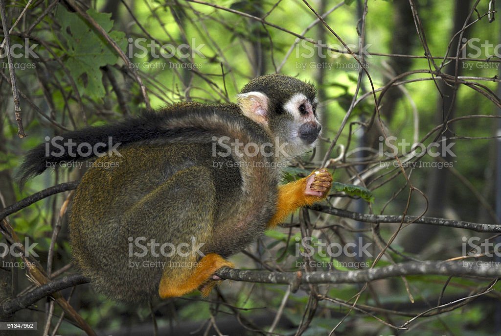 Curly tailed Squirrel Monkey stock photo