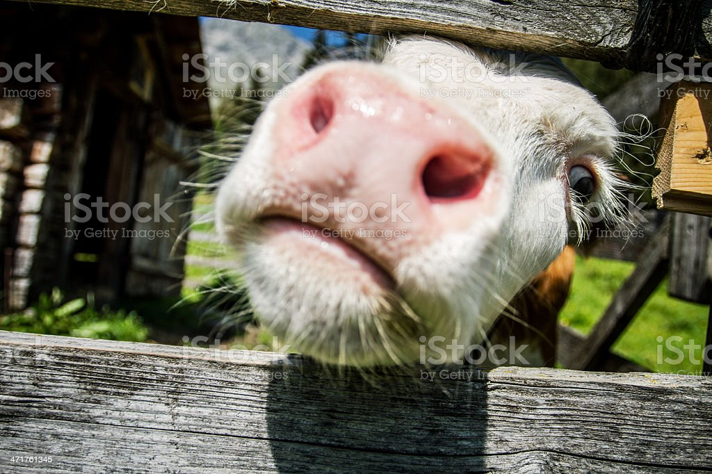 Curoius veal cow muzzle royalty-free stock photo