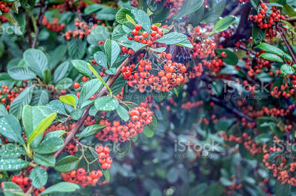 Currant bush stock photo
