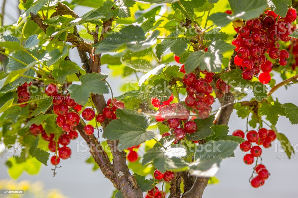 currant bush with berries in web stock photo