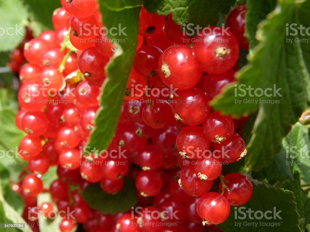 Johannisbeeren 1 stock photo