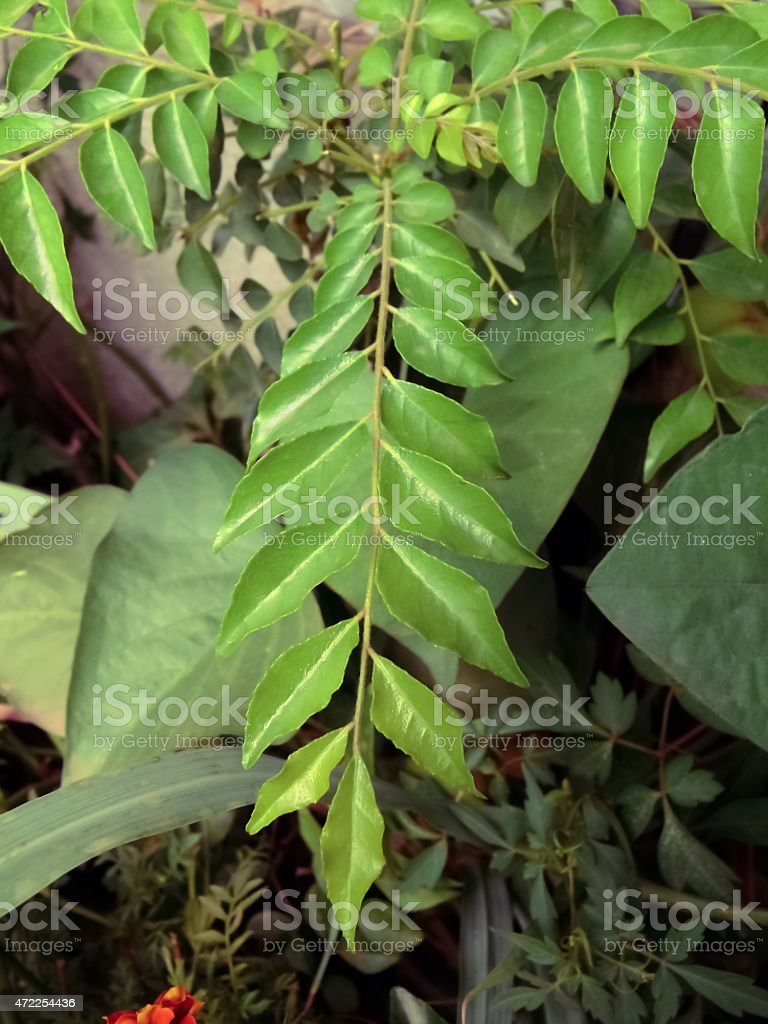 Curry Leaf, Murraya Koenigii stock photo