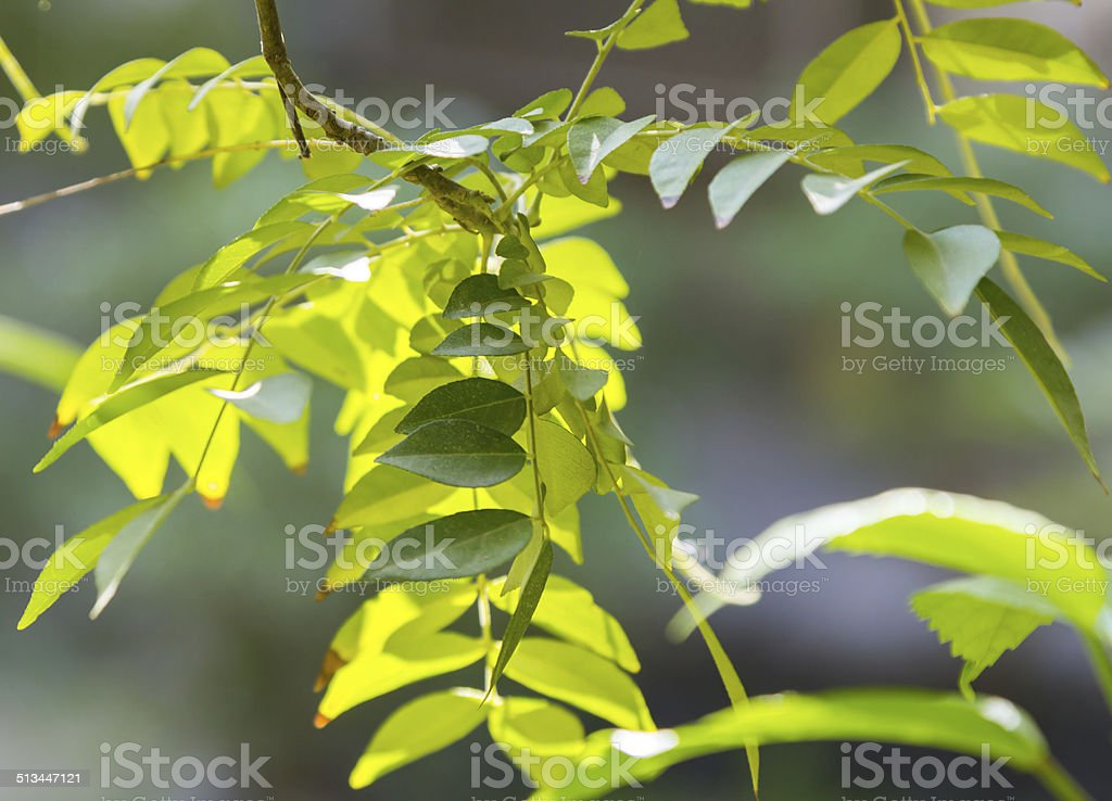 Curry leaves, India stock photo