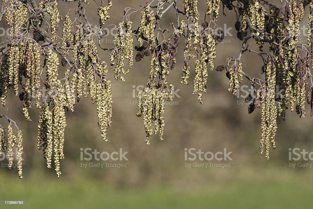 Curtain of catkins in spring on alder tree Alnus glutinosa stock photo