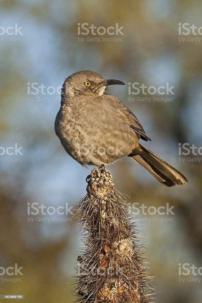 Curve-Billed Thrasher on a Cactus royalty-free stock photo