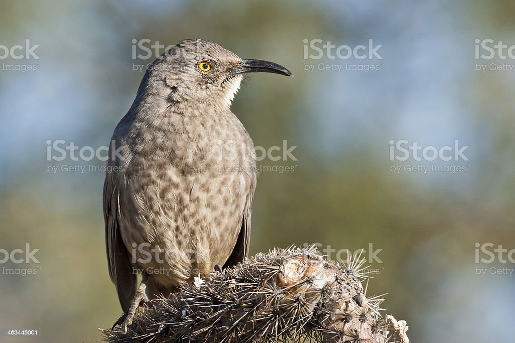 Curve-Billed Thrasher royalty-free stock photo