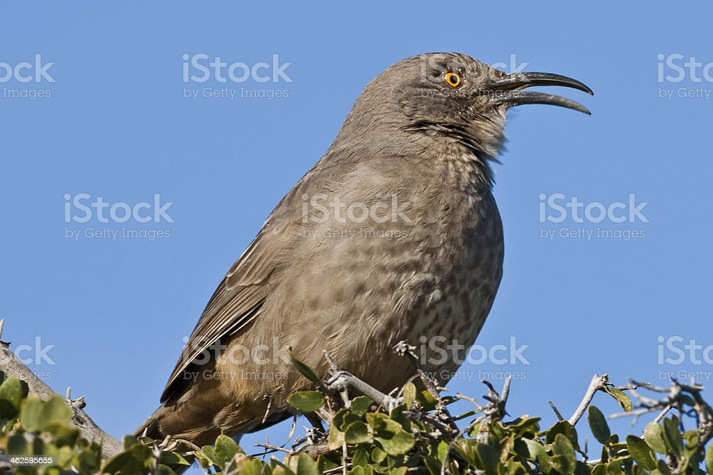Curve-Billed Thrasher Singing royalty-free stock photo